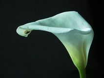Calla lilly. Against black background Stock Images