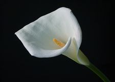 Calla lilly Photo libre de droits