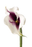 Calla lilly Fotografia Stock