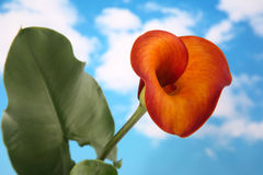calla lilly Royaltyfria Bilder