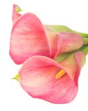 Calla Lilly Photographie stock