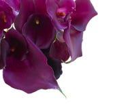 calla lilly Стоковое Изображение RF