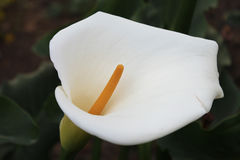 calla lilly Arkivbilder