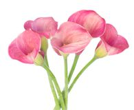 Calla lilly. Bunch of fresh Calla lilly flowers isolated on white background stock images