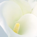 Calla lilly close-up Stock Image