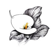 Calla lilly floral, black and white illustration background Stock Photos