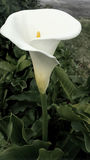 Calla lilly flower Stock Image