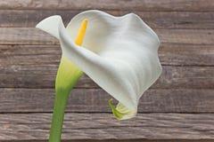 Calla lilly flower Zantedeschia Royalty Free Stock Photos