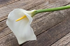 Calla lilly flower Zantedeschia on wooden background. Calla lilly flower Zantedeschia on old  wooden background Stock Photography