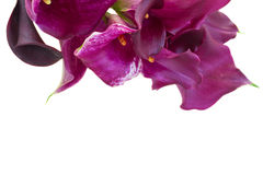 Calla lilly flowers Stock Photography