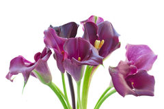 Calla lilly flowers Royalty Free Stock Photos