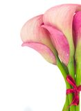 Calla lilly Royalty Free Stock Photos