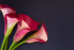 Calla lilly. Pink fresh calla lilly flowers on black background stock photos