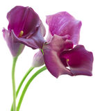 Calla lilly Stock Photography