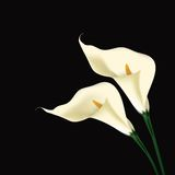 Calla lily Stock Images