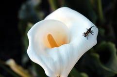Calla lily. Beautiful Calla lily or Zantedeschia aethiopica Stock Images