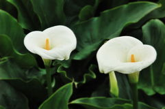 Calla Lily Stock Photos