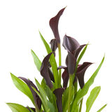 Calla lily. Dark purple (black) calla lily plant isolated on white background Royalty Free Stock Photo