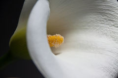 Free Calla Lily Stock Images - 19413404