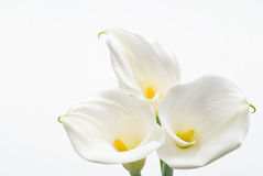 Calla lily. On a white background Royalty Free Stock Image