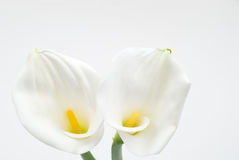Calla lily. On a white background Stock Photo