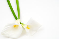Calla lily. On a white background Stock Images