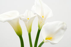 Calla lily. On a white background Stock Photos