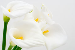 Calla lily. On a white background Royalty Free Stock Photography