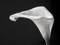 Calla lily. Against black background Stock Photos