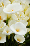 Calla lily. Flower blooming in spring Stock Photos
