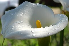 calla lily 3 Royalty Free Stock Image