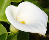 Free Calla Lily Royalty Free Stock Photography - 54407
