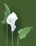 Calla Lily Stock Photo