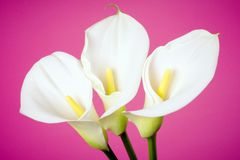Calla lily arum flower pink background royalty free stock photography