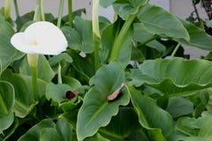 Calla lily, Arum lily, Zantedeschia aethiopica Stock Photography