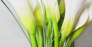 Calla lily backgrond. Background made of white and green calla lily flowers Royalty Free Stock Images