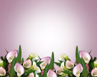 Calla Lily Border mauve. Image and illustration composition of pink calla lilies for wedding, birthday, party invitation, border or frame with copy space Stock Image