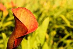 Calla lily Stock Image