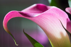 Calla Lily Closeup. Closeup side view of purple-pink colored calla lily in the Spring Stock Photography