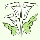 Calla lily color Royalty Free Stock Photography