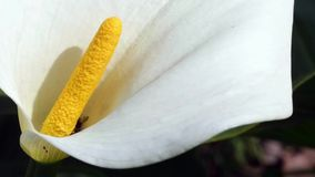 Calla Lily detail stock video