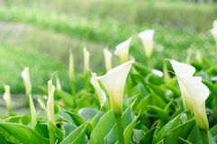 Calla Lily farm Royalty Free Stock Images