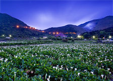The Calla lily farms view in Taiwan Taipei. Yangmingshan National Park royalty free stock photos