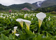 The Calla lily farms view in Taiwan Taipei stock photo