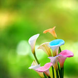 Calla lily field Royalty Free Stock Photography