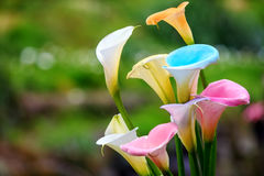 Calla lily field. For adv or others purpose use Royalty Free Stock Photos