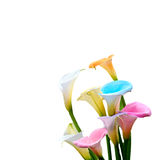 Calla lily field Royalty Free Stock Image