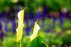 Calla lily field Stock Photography
