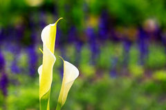 Calla lily field Royalty Free Stock Images