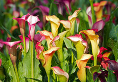 Calla lily field. Colorful Calla lily flower filed blossom in the park Stock Photography